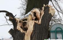 Kácení stromů v Uh. Hradišti