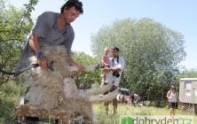 Ovce šly dohola