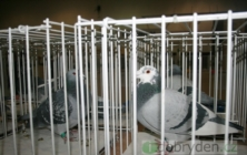 Výstava holubů v Hluku 2011