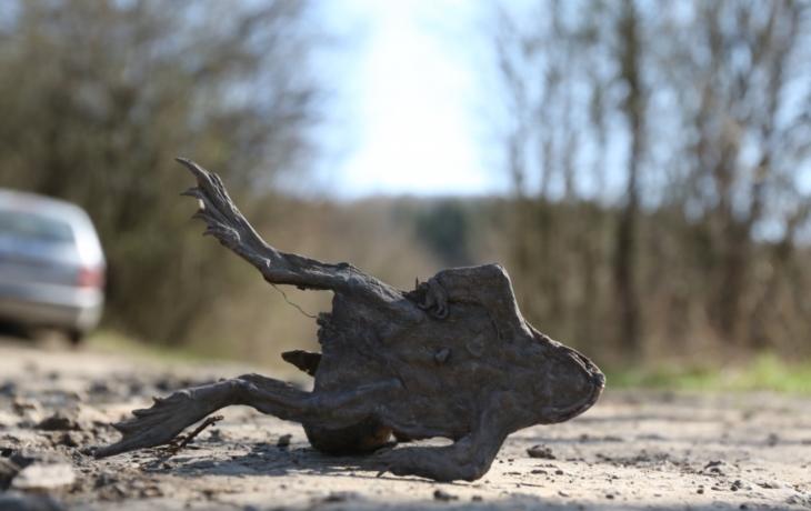 Chráněné žáby pukají pod koly. Denně jich zemře až padesát!
