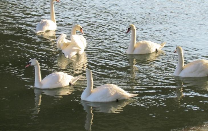 V Ostrohu se usadila labutí rodinka