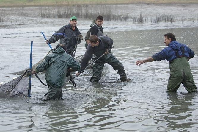 Rybáři už vytahují vánoční kapry, amury, líny i candáty