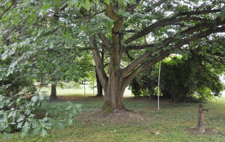 V nemocničním parku je šest památných stromů