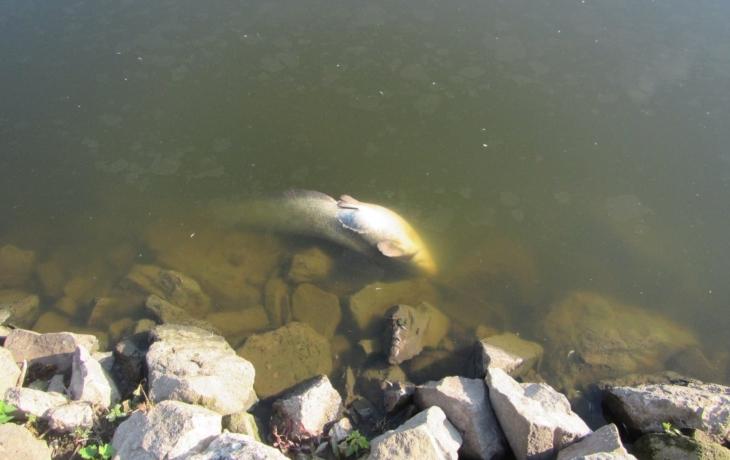 Úhyn ryb! Příčiny odhalí laboratoř