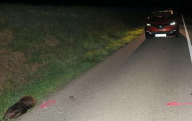 Rarita: řidička zabila bobra