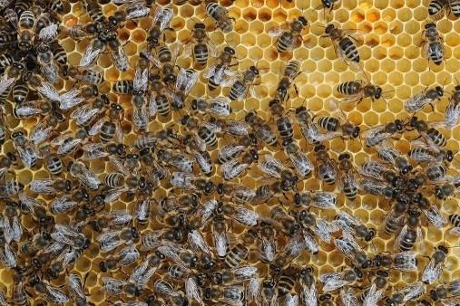 Včelí mor: V ochranném pásmu je 17 katastrů!