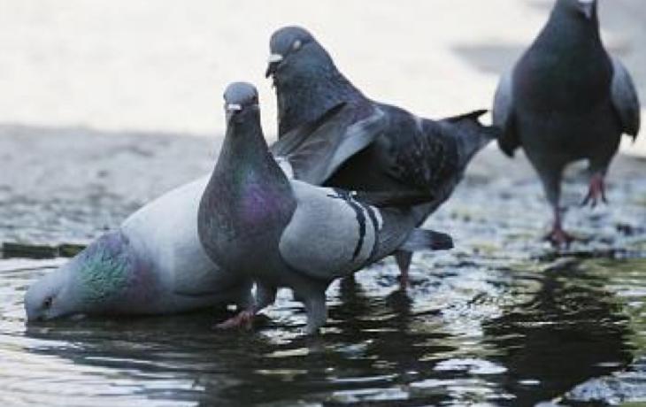 Město řeší odchyt holubů