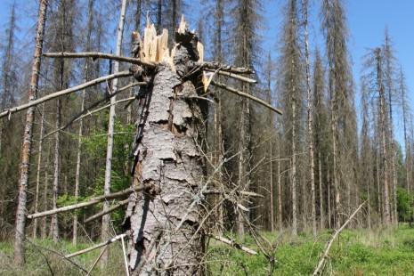 Kůrovec si pochutnal na drslavickém lese. Obec vysázela 7500 nových dubů