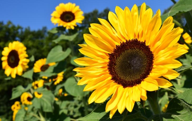 Lázně zdobí slunečnice, symbol naděje