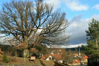 Dub z Cellerovy štěpnice usiluje o titul Strom roku