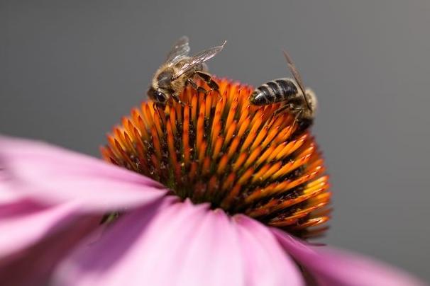 Včelstva ohrožuje smrtící infekce