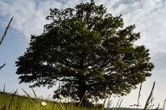 Překvapení: Dub rodiny nezískal titul Strom roku