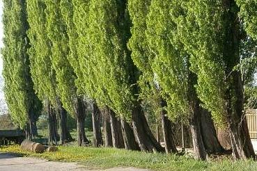 Chraňme zeleň nesouhlasí s kácením topolů, chystá odvolání
