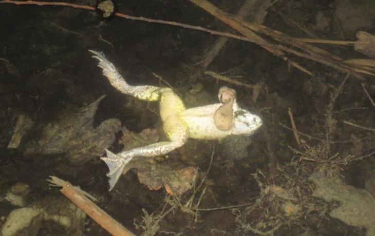 U Korytné lekly ryby i žáby, má jít o přirozený úhyn