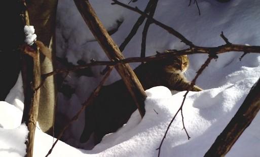 Kočka divoká se vrací, viděli ji v Bílých Karpatech