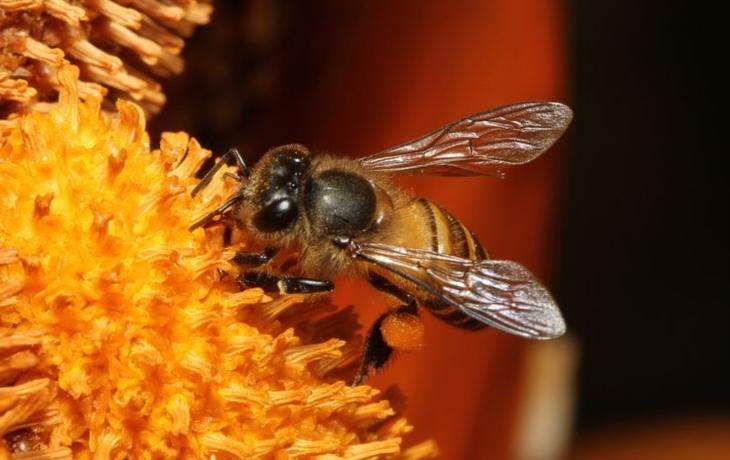 Účet včelího moru: Včelaři museli spálit přes tisíc úlů