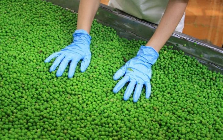 Hamé začala sezóna zpracování zeleniny. Začíná se koprem a hráškem