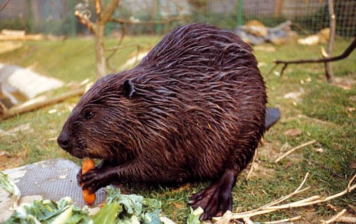 Obce mohou ničit bobří nory i hráze