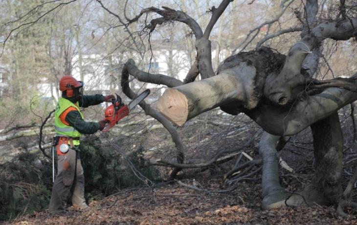 K zemi padne 240 stromů