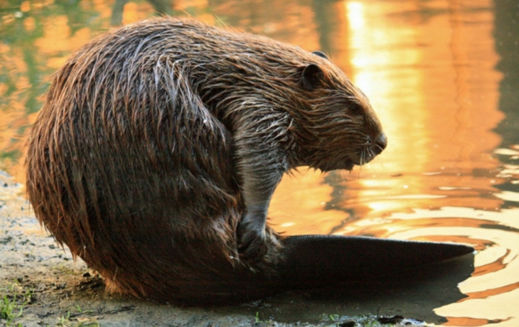 Hejtmanství možná povolí ničení hrází chráněného bobra