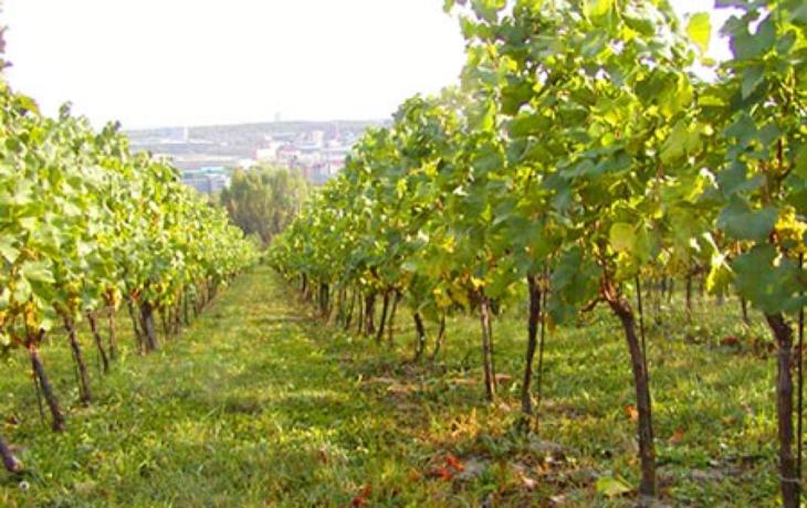 Blatnice prodá právo výsadby vinic