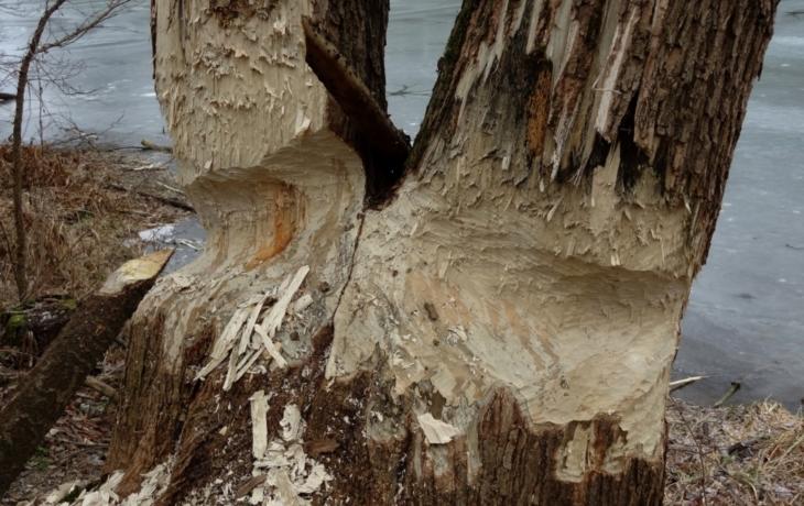 Stromy v Kanadě likvidují bobři