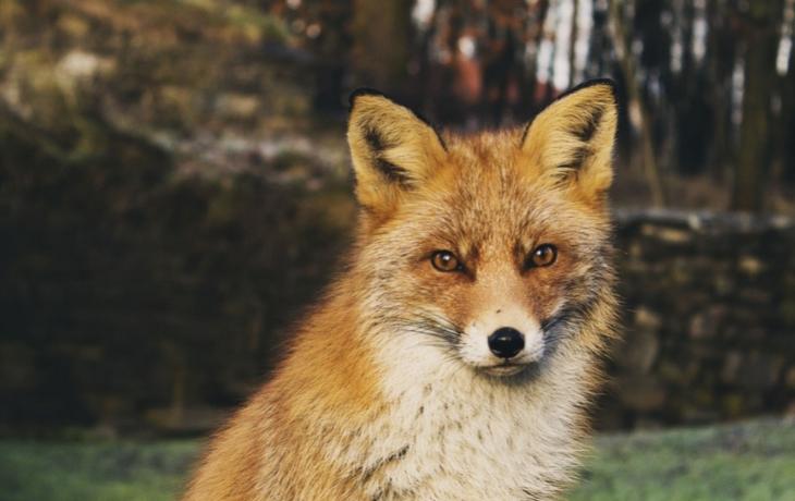 Ulovené lišky trpěly prašivinou. Parazit nakazí psy i člověka!
