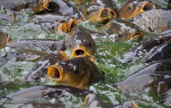 Přehradu plní tuny ryb, kamiony je vozí na etapy