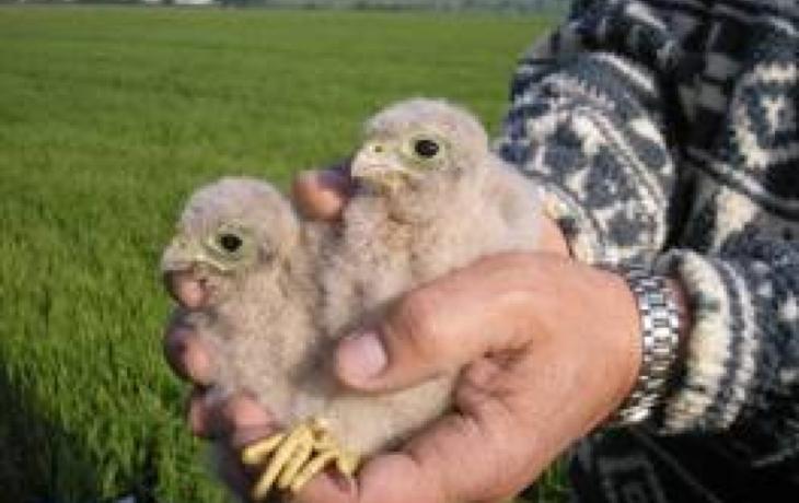 Dobrovolníci počítali mláďata poštolek. Zahlédli i orla