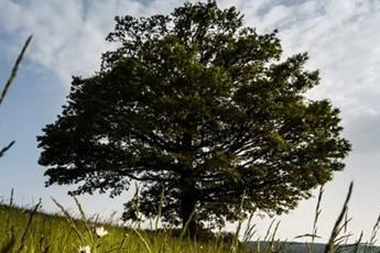 Stoletý obr z Jahodiska usiluje o titul Strom roku