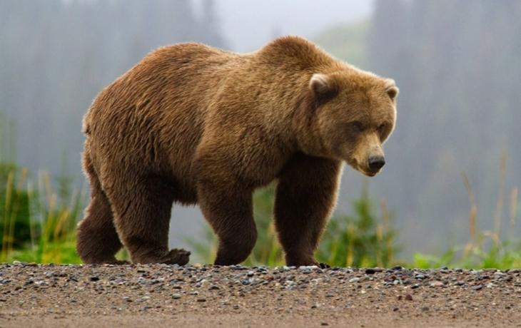 Medvěd se dál toulá po Brodsku. Na cestě k Hornímu Němčí překonal i dvě frekventované silnice
