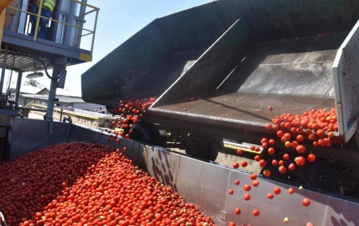 Rajčata dozrála, výroba protlaku běží naplno