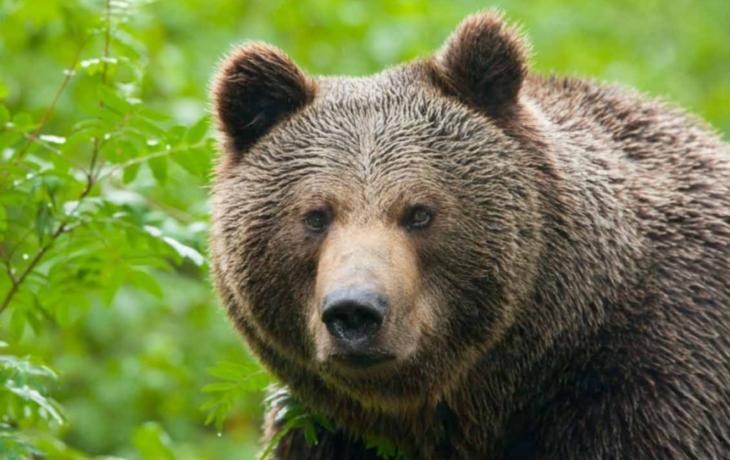 Medvěd se z brodských Rubanisek zatoulal k Hornímu Němčí!