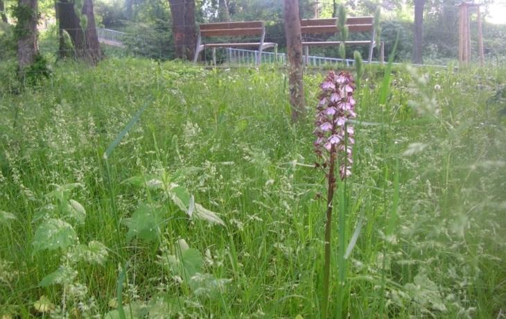 V centru Brodu rostou orchideje