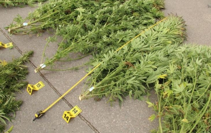 Policie sklízela na zahrádce konopí. Pěstiteli hrozí půl roku za mřížemi