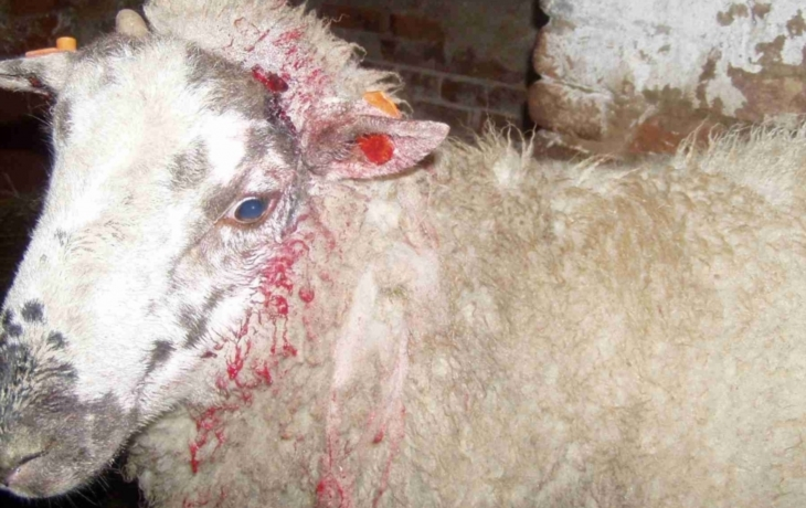 Toulaví psi zardousili březí ovci