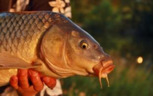 Rybářovy žně…
